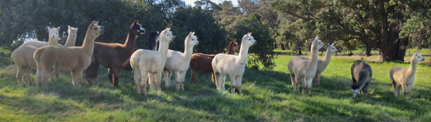 Alpacacino Farm